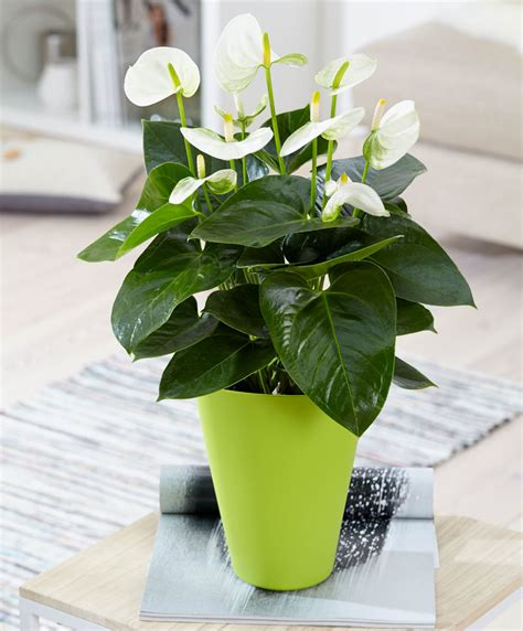 buy house plants anthurium plant white www pixshark com images