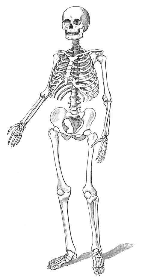 Vintage Human Skeleton Drawing from 1890