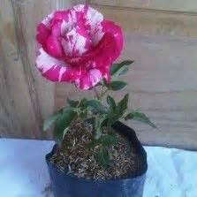 Tanaman Bunga Mawar Pink Corak hasil gambar untuk gambar bunga krisan bunga