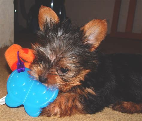 cheap puppies for adoption cheap tiny t cup yorkie puppies available now breeds picture
