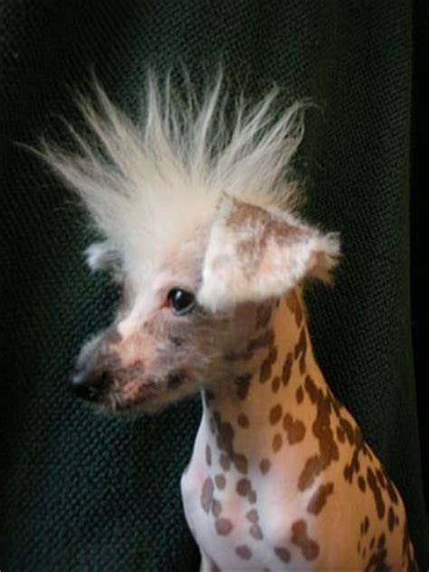 spiky hair dogs 25 best ideas about chinese crested dog on pinterest