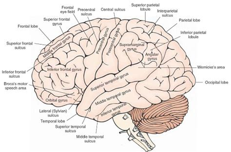 anatomy of the brain diagram brain anatomy diagram complex