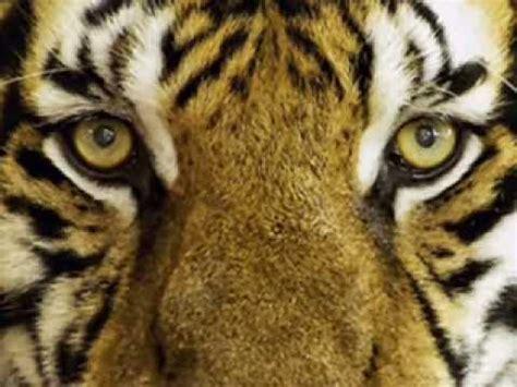 Harimau Putih Mitos Harimau Putih Dalam Sejarah Prabu