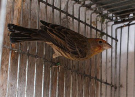 house finch breeding finches