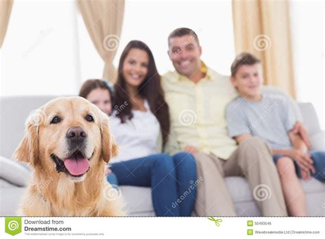 golden retriever family family of looking at golden retriever stock photo image 50493546