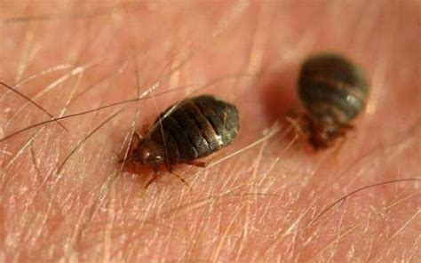 exterminate bed bugs how do you get rid of bed bugs
