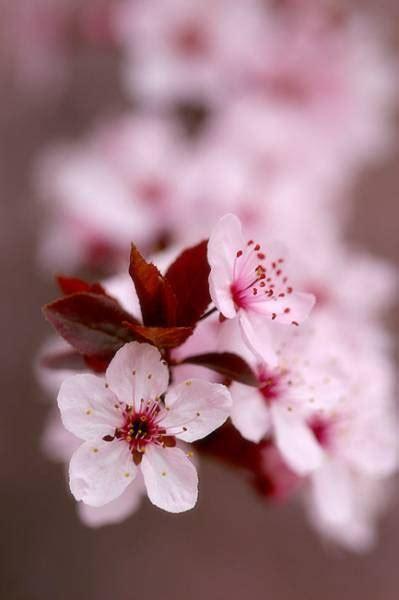 imágenes flores japonesas la germinacion de mis cerezos japoneses taringa