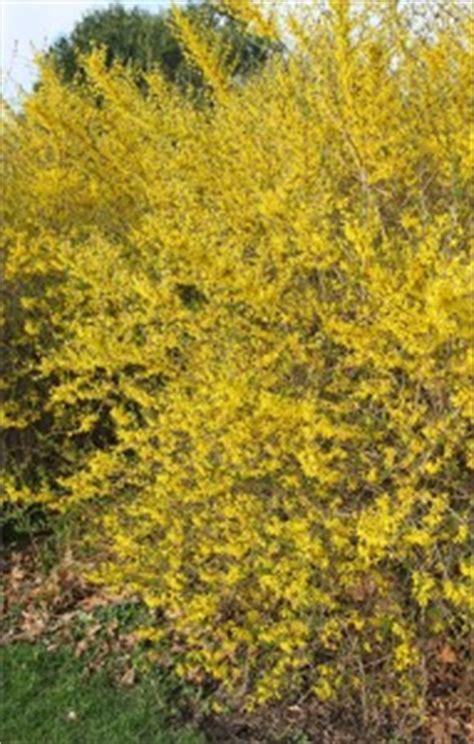 forsythia forsythia spp master gardener program