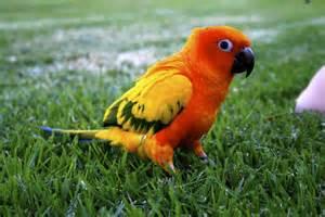 Sun conure singing wings aviary