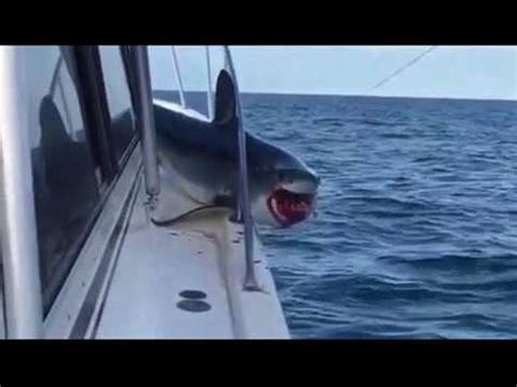 jaws jumps on boat terrifying moment a shark jumps aboard boat off long