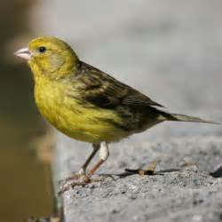 Canary by Yellow Canary Facts Pet Care Behavior Diet Price
