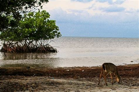 deer run bed breakfast deer wandering in the morning on the beach picture of
