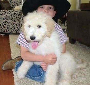 goldendoodle puppy uti 17 best images about labradoodle on