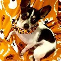 yorkie rescue cleveland ohio cleveland oh yorkie terrier maltese mix meet leafy seahorse a for