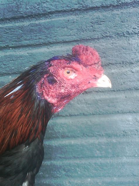 Jual Bibit Ayam Bangkok Di Samarinda jual ayam bangkok murah dan berkualitas si cilot terjual