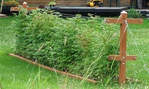 Backyard Berry Plants by Wasilla Alaska Garden Adventures About Chateau Listeur