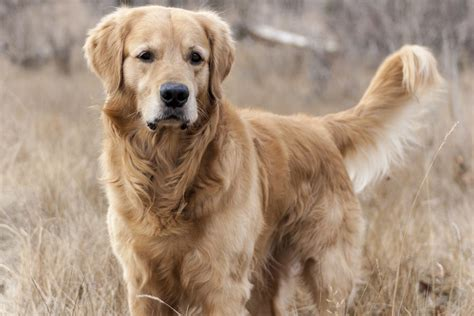 healthy golden retriever how much does owning a cost should you get a dogs guide omlet us
