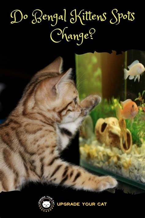 when do kittens change color do bengal kittens spots change here s what to expect