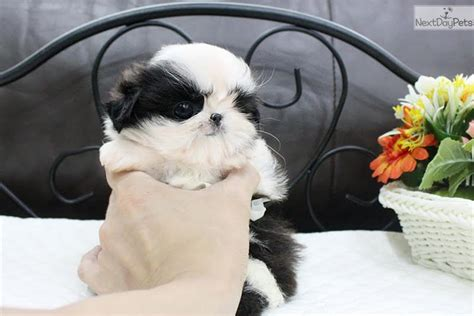 shih tzu puppies houston shih tzu puppy for sale near houston 9e7b13a1 1a81