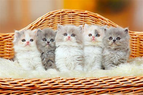 Sisir Kucing Angora ini nih cara tepat merawat anak kucing berambut panjang