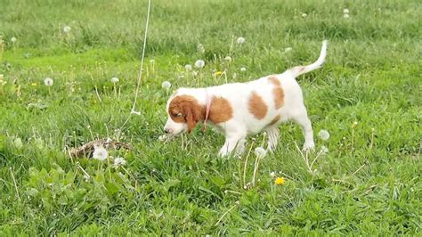 irish setter dog youtube irish red and white setter puppy youtube