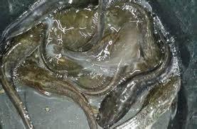 Pakan Ikan Lele Mancing Di Kolam cara pembibitan ikan lele sangkuriang mancing ikan mania