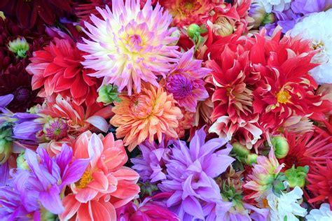mooie bloemen afbeeldingen gratis foto bloemen dahlia achtergrond gratis