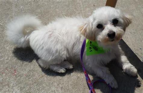 maltese puppy rescue maltese rescue