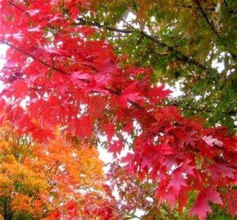 daun hamada pengagum daun maple