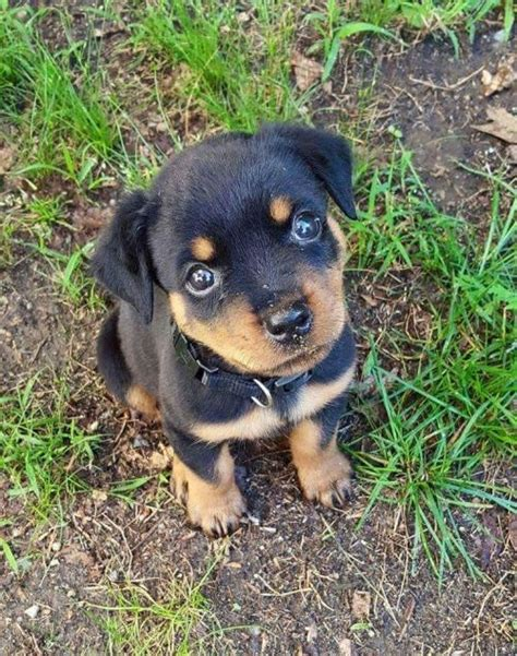 top 100 rottweiler names 1067 best images about sweet rottweiler puppies on rottweiler pictures