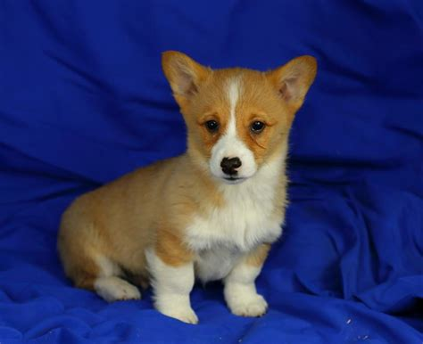 corgi puppies for sale in ct lovable corgi pups puppyindex