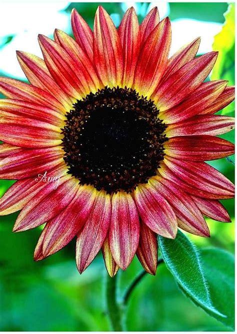 kansas sunflower 50 state flowers 1 pinterest 1766 besten sonnenblumen helianthus sunflower bilder auf