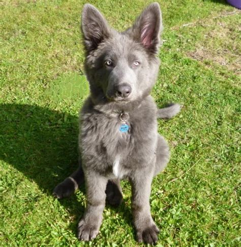 blue german shepherd blue german shepherd beautiful german obsession 3