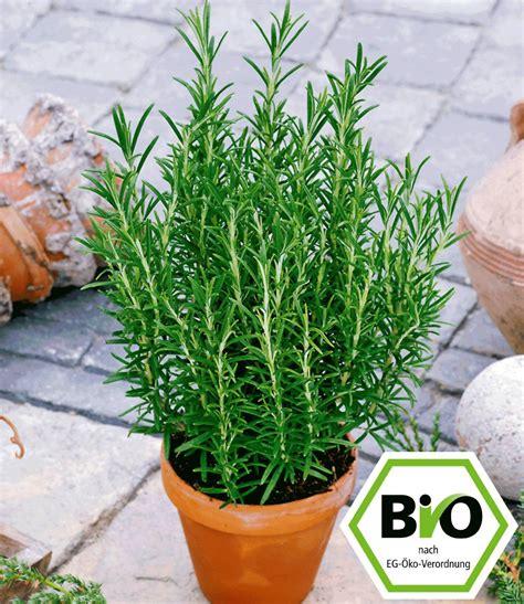 Rosmarin Garten Pflanzen by Bio Rosmarin 1a Pflanzen Kaufen Baldur Garten
