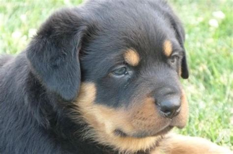 akc german rottweiler puppies for sale akc reg german rottweiler puppies for sale in na idaho classified