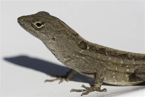 what do backyard lizards eat what do backyard lizards eat western fence lizards backyard zoologist what do