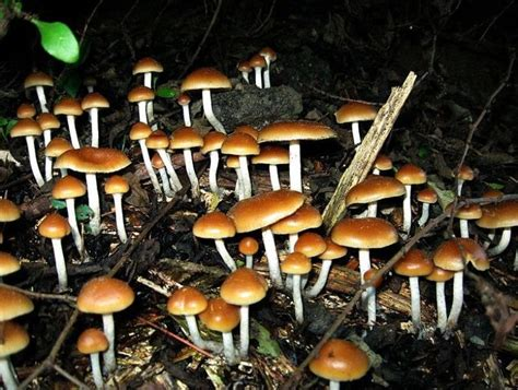 PTSD study: Magic Mushroom psilocybin may treat conditioned fear