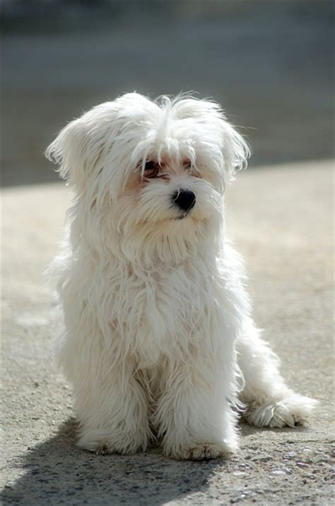 shih tzu diarrhea blood maltese breed health problems animal bliss