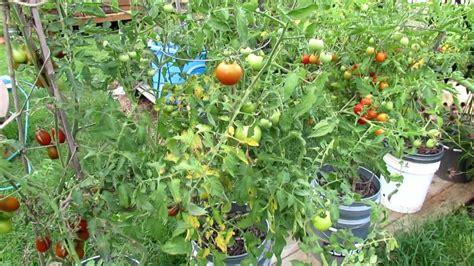 treat tomato leaf diseases pick  spray youtube