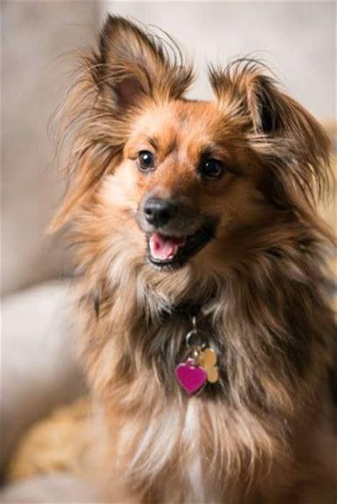 pug sheltie mix 1000 images about poshies on shetland sheepdog pomeranian mix puppies