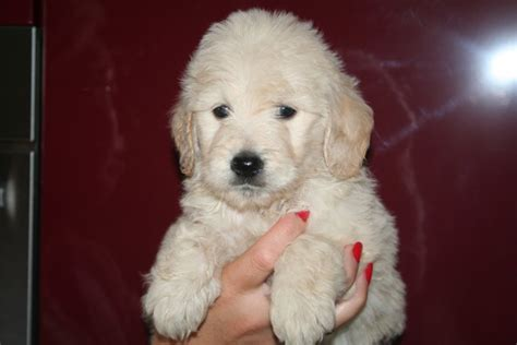 goldendoodle puppies for sale in essex goldendoodle puppies maldon essex pets4homes