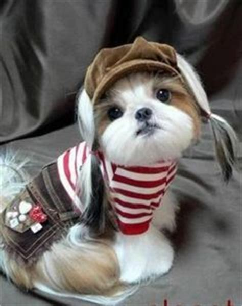 shih tzu puppy clothes 1000 images about shih tzu hairstyles clothes on shih tzu shih tzu