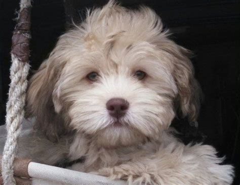 havanese poodle lifespan the 25 best havapoo puppies ideas on cavoodle
