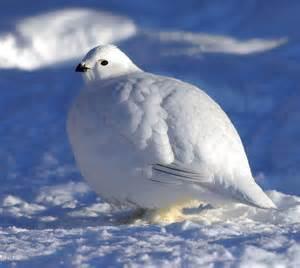 white partridge great bird white snow