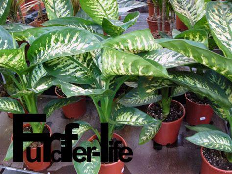 schöne große zimmerpflanzen zimmerpflanzen gro 223 e bl 228 tter gro e zimmerpflanzen