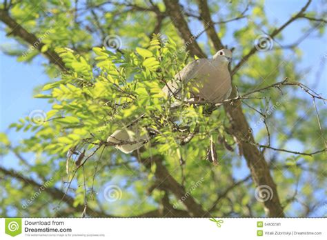 tree doves dove on a tree stock photo image 54630181
