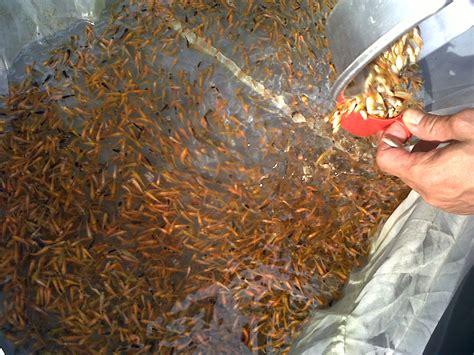 Pakan Ikan Lele Bibit efek musim kemarau pembenihan ikan turun drastis kkp news