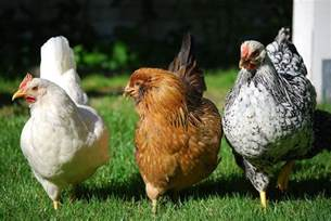 Backyard Chickens Why Raise Chickens In Your Backyard The Many Reasons