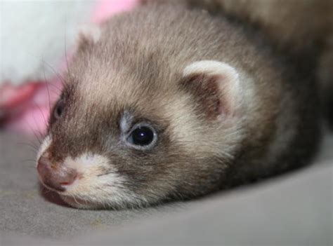 How cute is this stray baby ferret that was found cold and