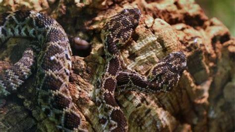 serpente a 2 teste germania serpente a due teste nel rettilario di scheidegg